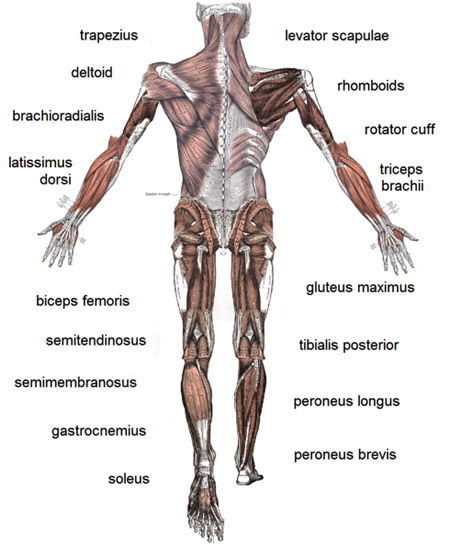 somatic nervous system. somatic nervous system,